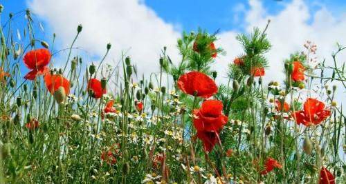 [images.4ever.eu] fleurs des champs 154560.jpg
