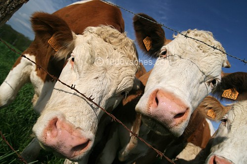 Amour vache.jpg